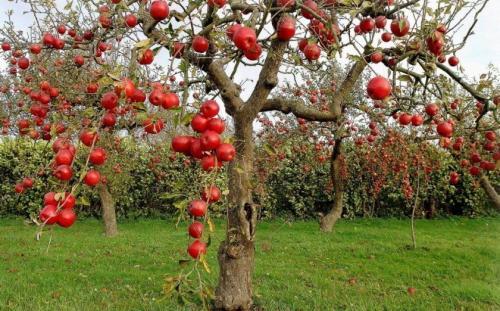 Как выбрать саженец яблони для посадки. Подбор по сроку плодоношения