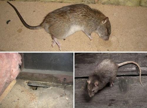 Как избавиться от крысы в частном доме. Как навсегда избавиться от крыс в частном доме народными средствами