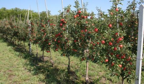 Когда лучше сажать саженцы яблонь. Когда лучше сажать яблоню – весной или осенью и от чего это зависит